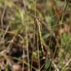 Orthetrum caledonicum (Blue Skimmer) at Mount Ainslie - 2 Feb 2021 by jbromilow50