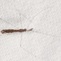 Empicoris sp. (genus) (Thread-legged assassin bug) at Melba, ACT - 24 Jan 2021 by kasiaaus