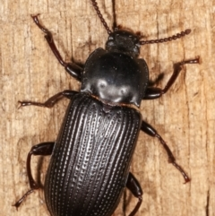 Unidentified Beetle (Coleoptera) (TBC) at Melba, ACT - 24 Jan 2021 by kasiaaus
