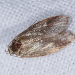 Garrha (genus) (A concealer moth) at Melba, ACT - 24 Jan 2021 by kasiaaus