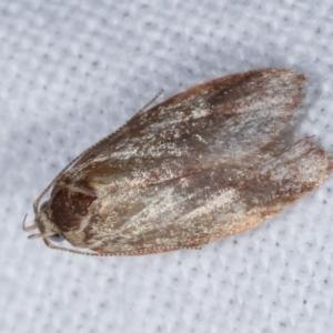 Garrha (genus) at Melba, ACT - 25 Jan 2021