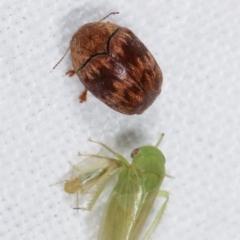Elaphodes pilula at Melba, ACT - 25 Jan 2021