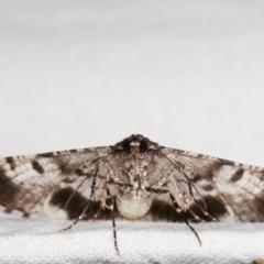 Gastrinodes argoplaca (Cryptic Bark Moth) at Melba, ACT - 25 Jan 2021 by kasiaaus