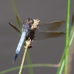 Orthetrum caledonicum (Blue Skimmer) at Paddys River, ACT - 2 Feb 2021 by RodDeb