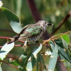 Chrysococcyx lucidus (Shining Bronze-Cuckoo) at Paddys River, ACT - 2 Feb 2021 by RodDeb