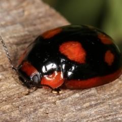 Paropsisterna beata (Eucalyptus leaf beetle) at Melba, ACT - 25 Jan 2021 by kasiaaus