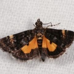 Heliothela ophideresana (A Crambid Moth (Scopariinae)) at Melba, ACT - 25 Jan 2021 by kasiaaus