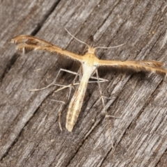 Megalorhipida leucodactyla (Spiderling Plume Moth) at Melba, ACT - 25 Jan 2021 by kasiaaus