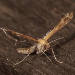 Megalorhipida leucodactyla at Melba, ACT - 25 Jan 2021