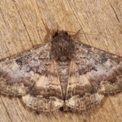 Eudesmeola lawsoni (Lawson's Night Moth) at Melba, ACT - 25 Jan 2021 by kasiaaus
