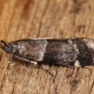 Lasiosticha canilinea at Melba, ACT - 26 Jan 2021