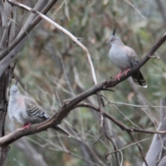 Ocyphaps lophotes (Crested Pigeon) at Bowna Reserve - 1 Feb 2021 by PaulF