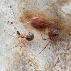 Cryptachaea veruculata at Dryandra St Woodland - 1 Feb 2021