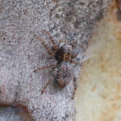 Servaea sp. (genus) (Unidentified Servaea jumping spider) at Dryandra St Woodland - 31 Jan 2021 by ConBoekel