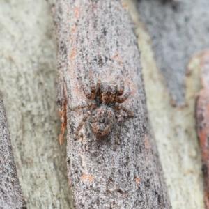 Servaea sp. (genus) at Dryandra St Woodland - 1 Feb 2021