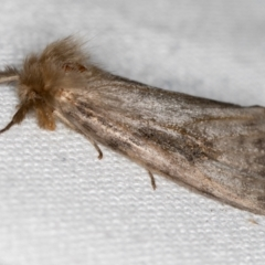 Leptocneria reducta (White cedar moth) at Melba, ACT - 29 Jan 2021 by Bron
