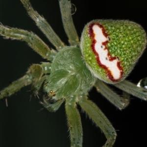 Araneus circulissparsus (species group) at Melba, ACT - 4 Jan 2021