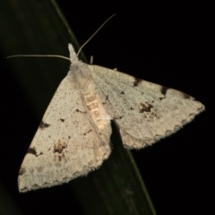 Dichromodes estigmaria (Pale Grey Heath Moth) at Melba, ACT - 3 Jan 2021 by Bron