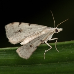 Dichromodes estigmaria at Melba, ACT - 4 Jan 2021