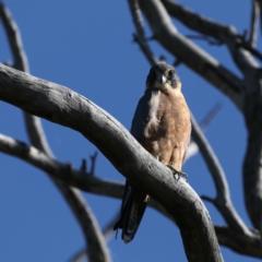 Falco longipennis (Australian Hobby) at Mount Ainslie - 2 Feb 2021 by jbromilow50