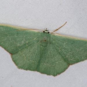 Prasinocyma semicrocea at Melba, ACT - 4 Jan 2021