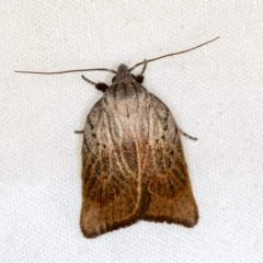 Tortricopsis pyroptis (A Concealer moth) at Melba, ACT - 3 Jan 2021 by Bron