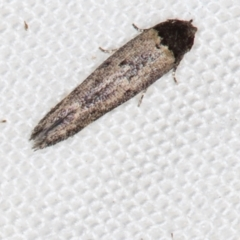 Gelechioidea (superfamily) (Unidentified Gelechioid moth) at Melba, ACT - 3 Jan 2021 by Bron