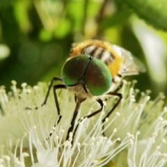 Scaptia (Scaptia) auriflua (A flower-feeding march fly) at Rugosa at Yass River - 3 Feb 2021 by SenexRugosus