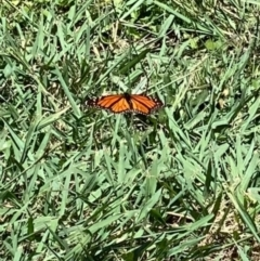 Danaus plexippus (Monarch/Wanderer) at Murrumbateman, NSW - 3 Feb 2021 by SimoneC