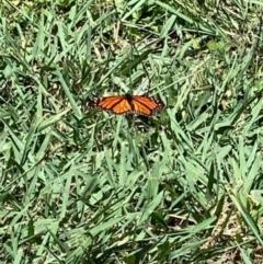Danaus plexippus (Monarch/Wanderer) at Murrumbateman, NSW - 3 Feb 2021 by SimoneC