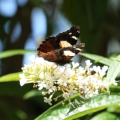 Vanessa itea (Yellow Admiral) at Hughes, ACT - 3 Feb 2021 by JackyF