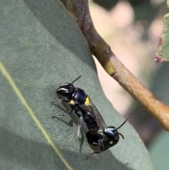 Hylaeus (Hylaeorhiza) nubilosus (A yellow-spotted masked bee) at Murrumbateman, NSW - 3 Feb 2021 by SimoneC