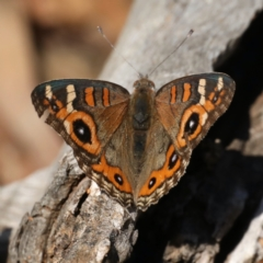 Junonia villida (Meadow Argus) at Ainslie, ACT - 31 Jan 2021 by jbromilow50