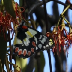 Delias aganippe (Spotted Jezebel) at Ainslie, ACT - 31 Jan 2021 by jbromilow50