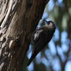 Cormobates leucophaea (White-throated Treecreeper) at Mount Ainslie - 31 Jan 2021 by jbromilow50