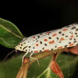 Utetheisa pulchelloides at Melba, ACT - 26 Jan 2021