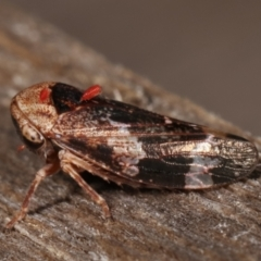Unidentified Leafhopper & planthopper (Hemiptera, several families) (TBC) at Melba, ACT - 25 Jan 2021 by kasiaaus