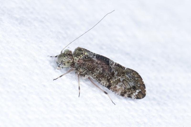 Psocodea 'Psocoptera' sp. (order) at Melba, ACT - 26 Jan 2021