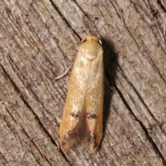 Tachystola hemisema (A Concealer moth) at Melba, ACT - 25 Jan 2021 by kasiaaus