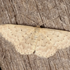 Idaea philocosma (Flecked Wave) at Melba, ACT - 25 Jan 2021 by kasiaaus