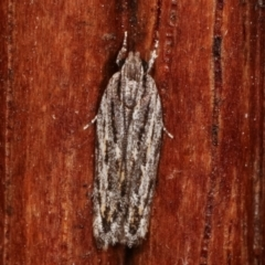 Ardozyga undescribed species nr amblopis (A Gelechioid moth) at Melba, ACT - 25 Jan 2021 by kasiaaus