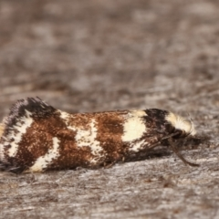 Isomoralla eriscota (A concealer moth) at Melba, ACT - 25 Jan 2021 by kasiaaus