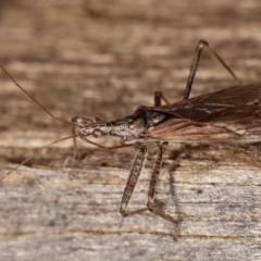 Unidentified Assassin bug (Reduviidae) (TBC) at Melba, ACT - 25 Jan 2021 by kasiaaus