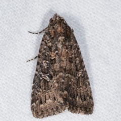 Hypoperigea tonsa (A noctuid moth) at Melba, ACT - 25 Jan 2021 by kasiaaus