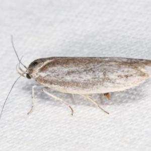 Unidentified Oecophoridae group 3 at Melba, ACT - 26 Jan 2021