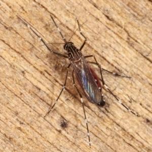 Aedes (Rampamyia) notoscriptus at Melba, ACT - 26 Jan 2021