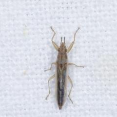 Unidentified Shield, Stink & Jewel Bug (Pentatomoidea) (TBC) at Melba, ACT - 25 Jan 2021 by kasiaaus