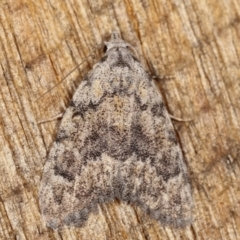 Nola (genus) (A Noctuid moth) at Melba, ACT - 25 Jan 2021 by kasiaaus