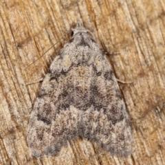 Nola (genus) (A Noctuid moth) at Melba, ACT - 25 Jan 2021 by kasiaaus