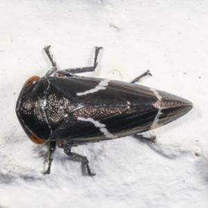 Eurymeloides bicincta at Melba, ACT - 26 Jan 2021